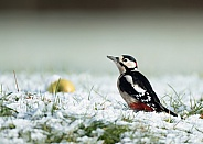 Great Spotted Woodpecker in Snow