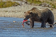 Grizzly Bear caught a fish