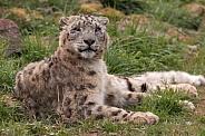 Snow Leopard Lying On The Grass Full Body