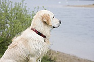 Retriever waiting for his friend