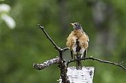 An American Robin in Alaska
