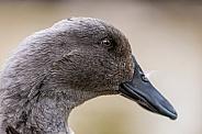 Grey Duck