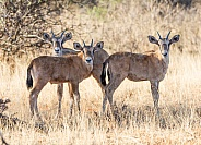 Gemsbok Calves