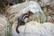 Canadian Chipmunk