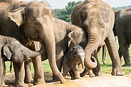 Asian Elelphants Family