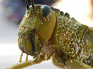 Grasshopper covered in sand