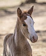 Up close shot of a wild horse baby