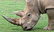 White Rhino Close Up Side Profile