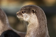 Asian small-clawed Otters