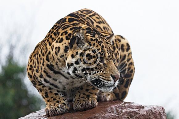 Jaguar Crouched On Rock Looking Sideways