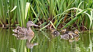 Mother duck with ducklings (Anas platyrhynchos)