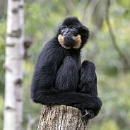 Yellow Cheeked Gibbon (Nomascus gabriellae)