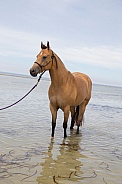 Quarter horse -Buckskin