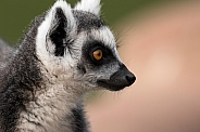 Ring Tailed Lemur Side Profile