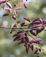 Swainson's Thrush Eating Chokecherries