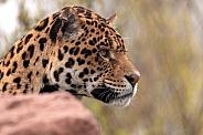 Jaguar Face Shot Side Profile
