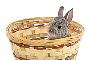 Cottontail Rabbit in Basket
