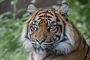 Sumatran Tigress (Panthera Tigriss Sumatrae)