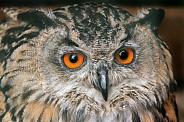 European Eagle Owl Face Shot