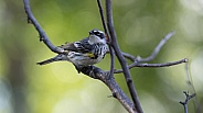 Male Yellow-rumped Warbler in Alaska