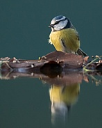 Reflected Blue Tit