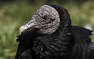 Black Vulture Close Up Head Shot