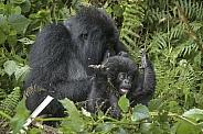 Gorilla (Wild)