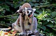 Ringtaled lemur