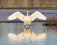 Trumpeter Swan Stretching it's Wings