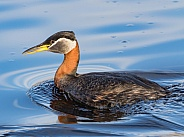 Red-necked Grebe in Alaska