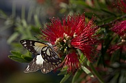White caper butterfly.