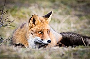 Fox lying on the grass