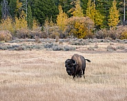 Batchelor Bison