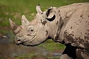 Critically endangered Black Rhinoceros - Namibia
