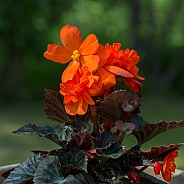 Fire Orange Begonia