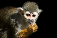 Squirrel Monkey Close Up