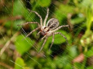 Funnel Spider