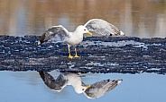 Common Mew Gull Stretching it's Wings