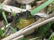 Frog In Reeds