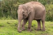 Asiatic Elephant Full Body Standing