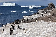 Adelie penguin colony - Antarctica