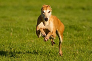 Greyhound Running at the Camera