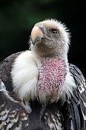 Ruppels vulture portrait
