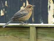 Juvenile blackbird on the fence
