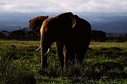African Elephant Twilight