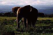 African Elephant Twilight