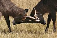 Male Waterbuck fighting - Botswana