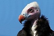 White-headed Vulture