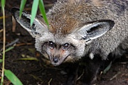 Bat-Eared Fox