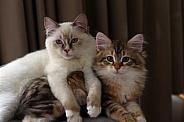 Ragdoll & Siberian Kitten